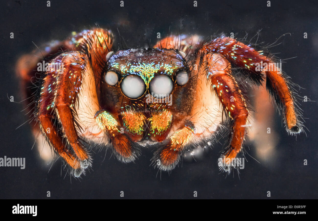 Cuvette spider, U, face_2012-12-12-143023 ZS PMax_8270179563_o Christmas Lights Jumping Spider from the Dominican - Stock Image