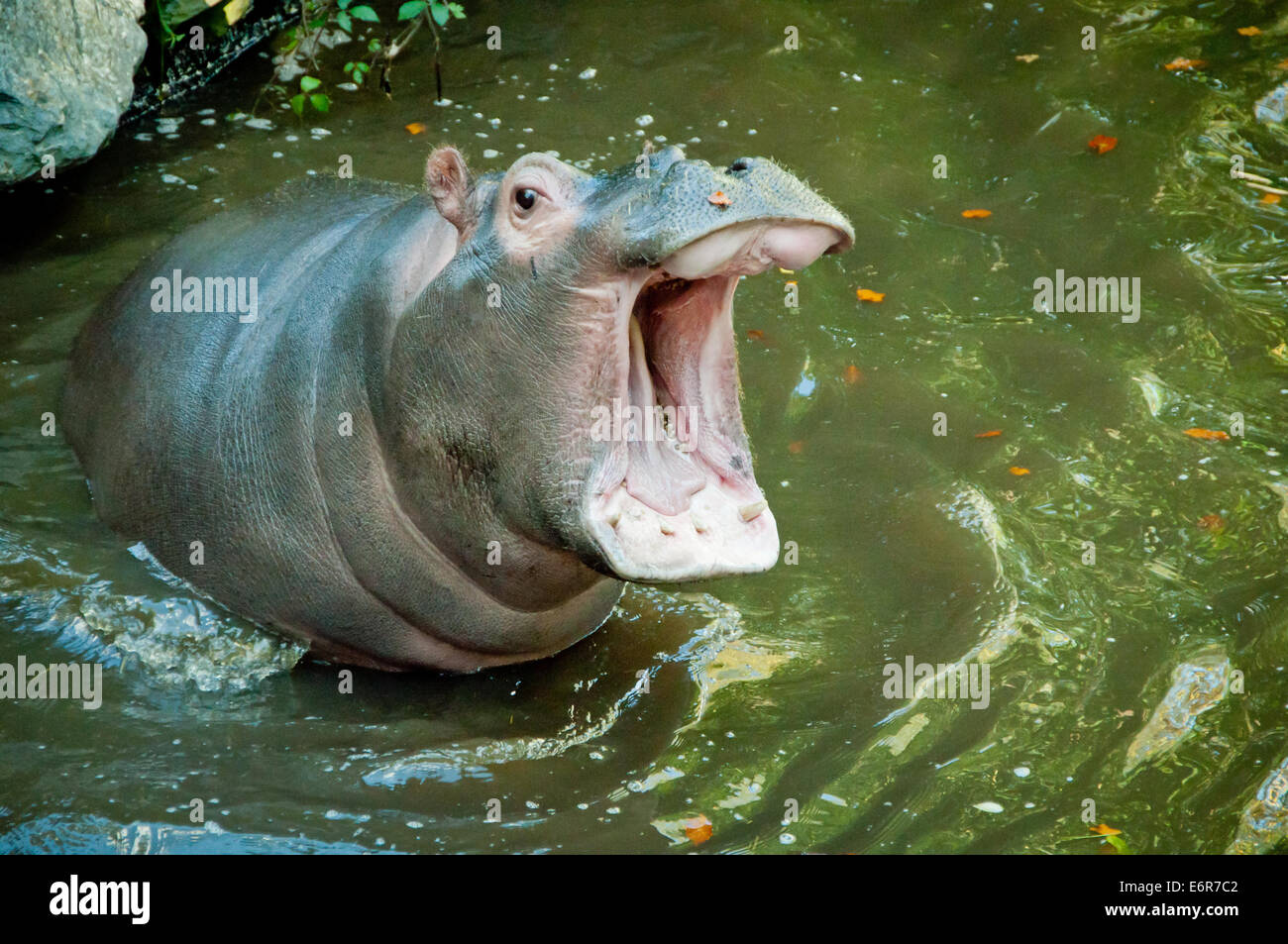 Hippopotamus with mouth wide open - Stock Image