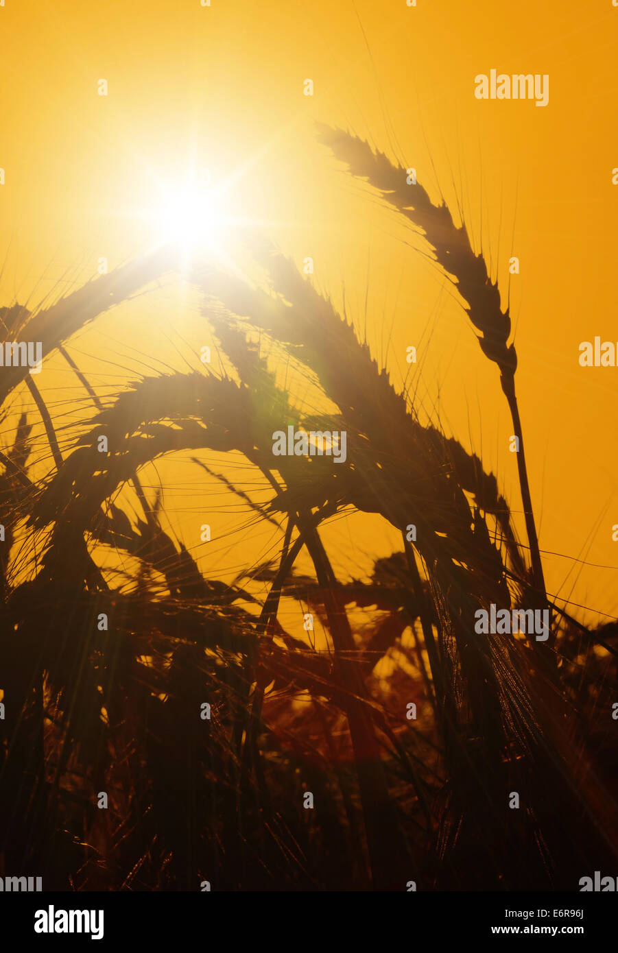 The sun rises over a wheat field. - Stock Image