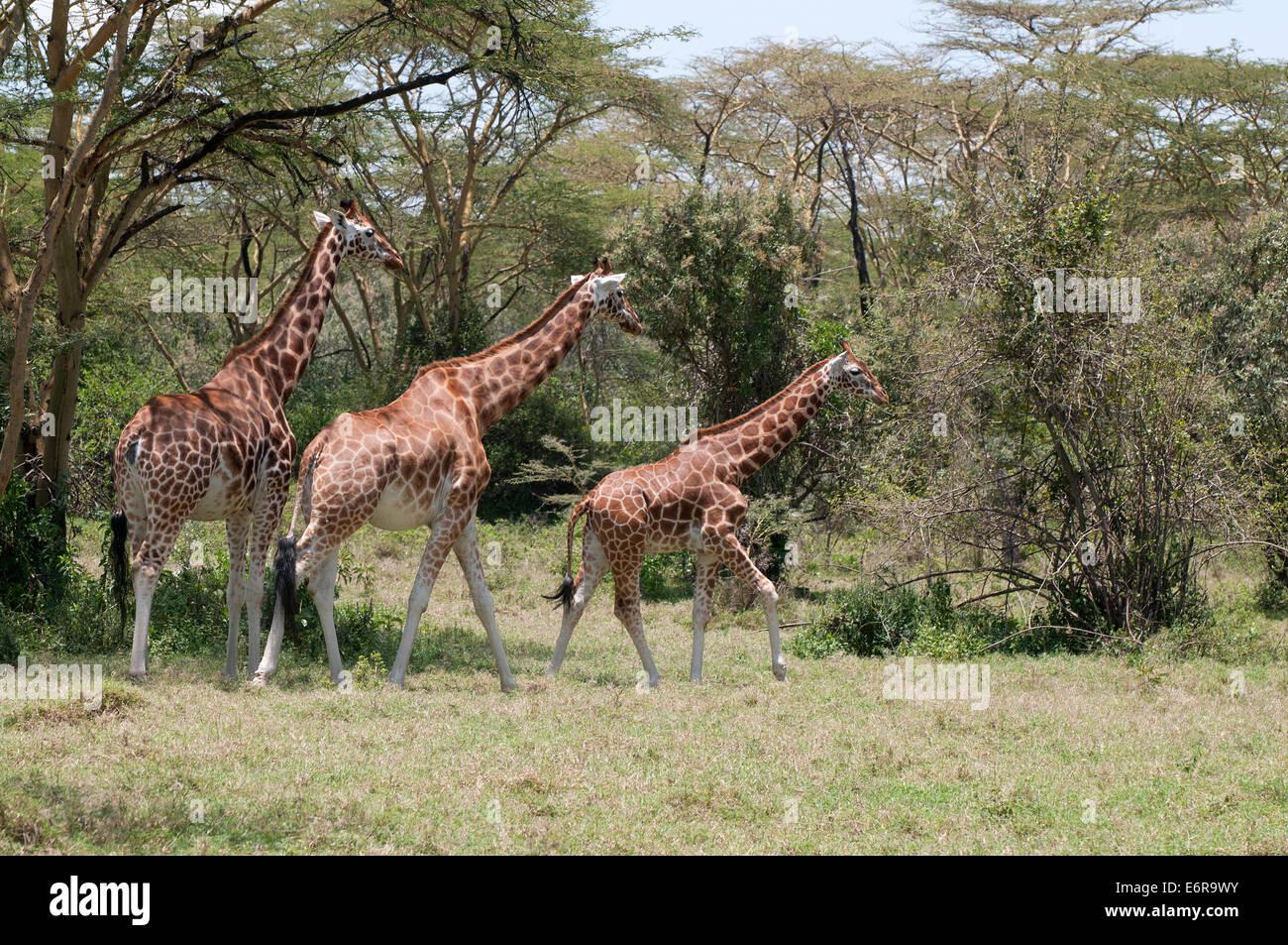 Three Rothschilds Giraffes in acacia woodland in Lake Nakuru National Park Kenya East Africa - Stock Image