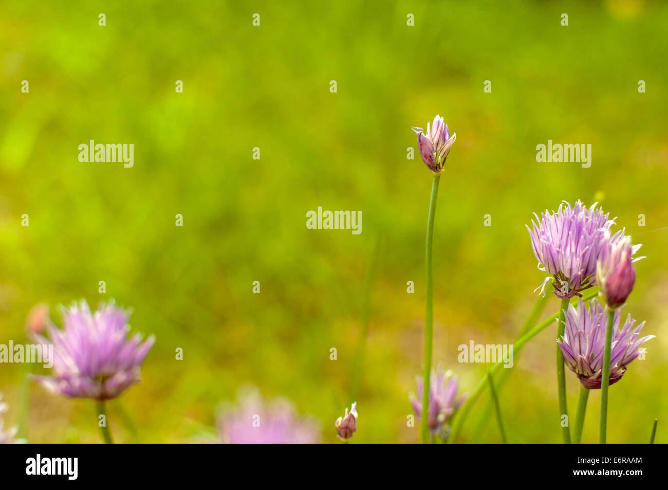 detail of small purple flower meadow with blurred background - Stock Image