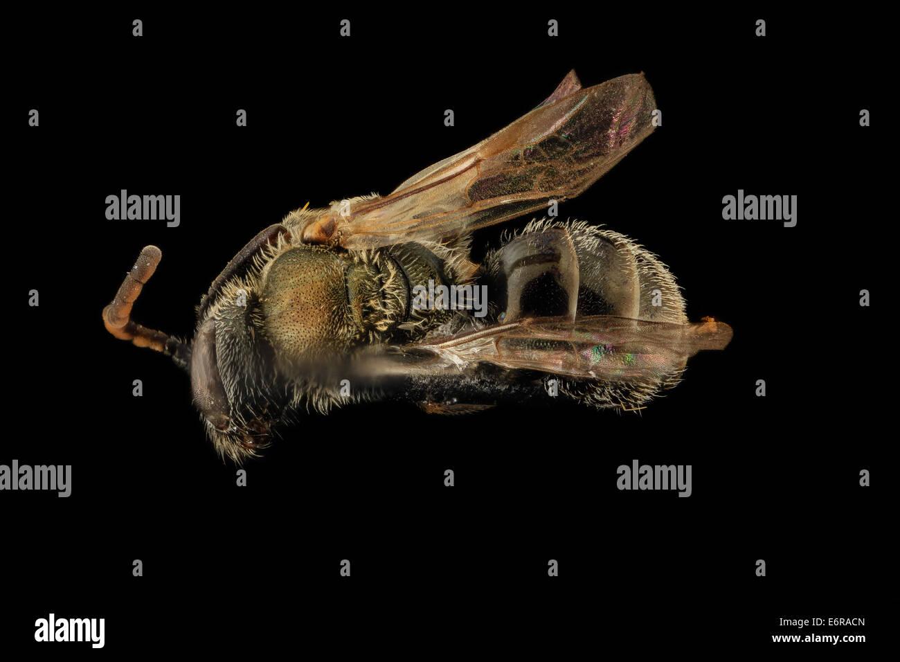 Gynandromorph, Lasioglossum hitchensi, Back, MD, St Marys County_2014-05-27-162623 ZS PMax_14483964382_o Gynandromorph, - Stock Image