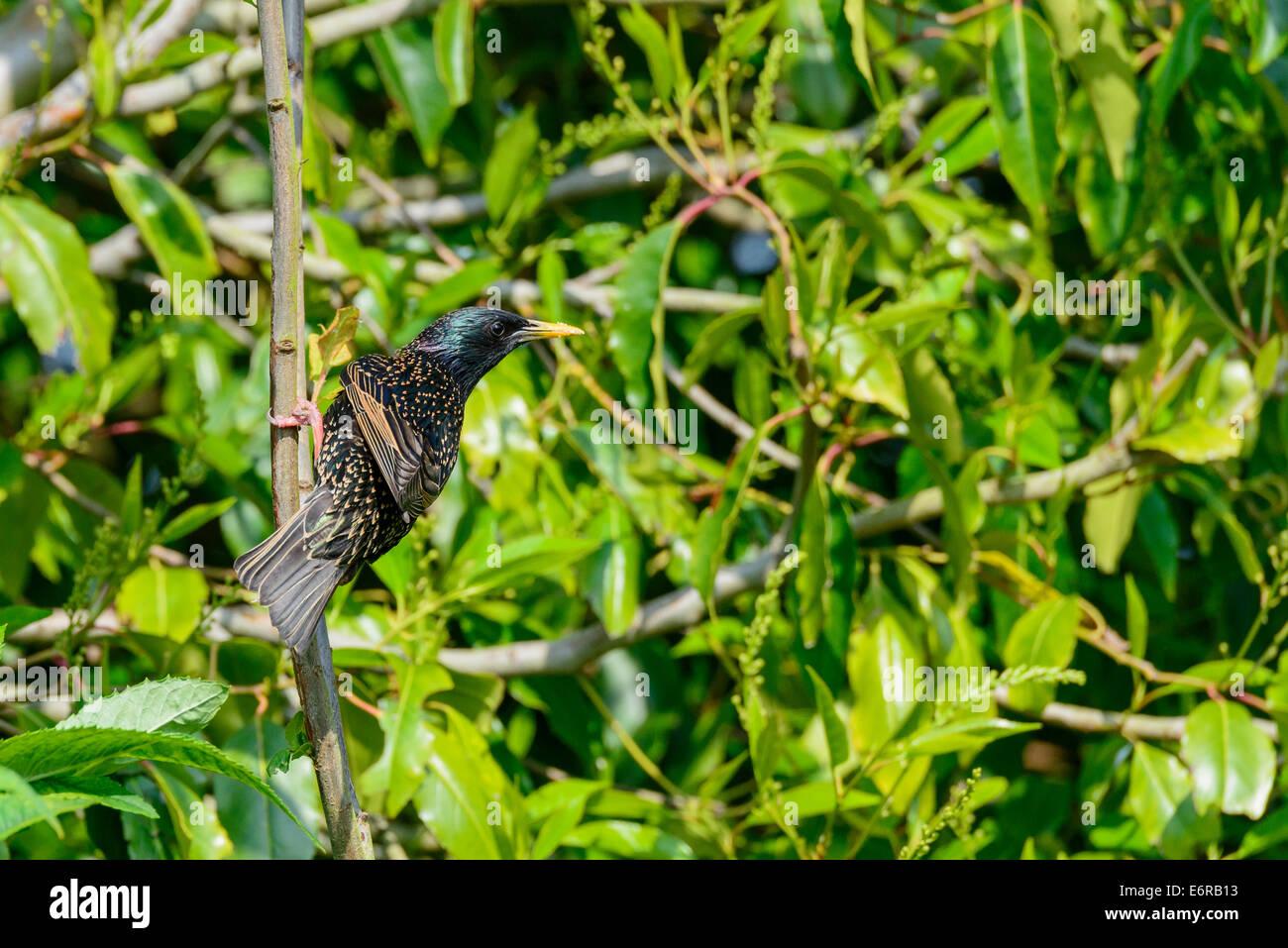A wild adult common starling (Sturnus vulgaris) bird perching perches on a bush in an urban British garden. - Stock Image