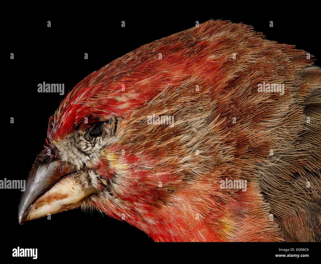 House Finch, M, side of face, Convention Center, 52512 2013-04-12-141504 ZS 8647208012 o House Finch, Carpodacus Stock Photo