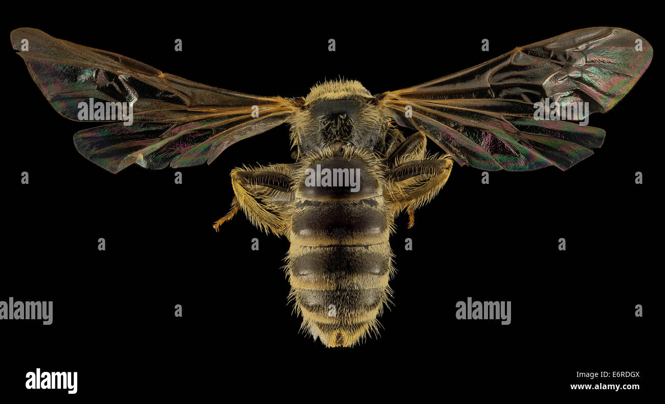 Lasioglossum aberrans, F, Back, UT, Garfield County_2014-05-09-173059 ZS PMax_14299375663_o Bryce Canyon National - Stock Image