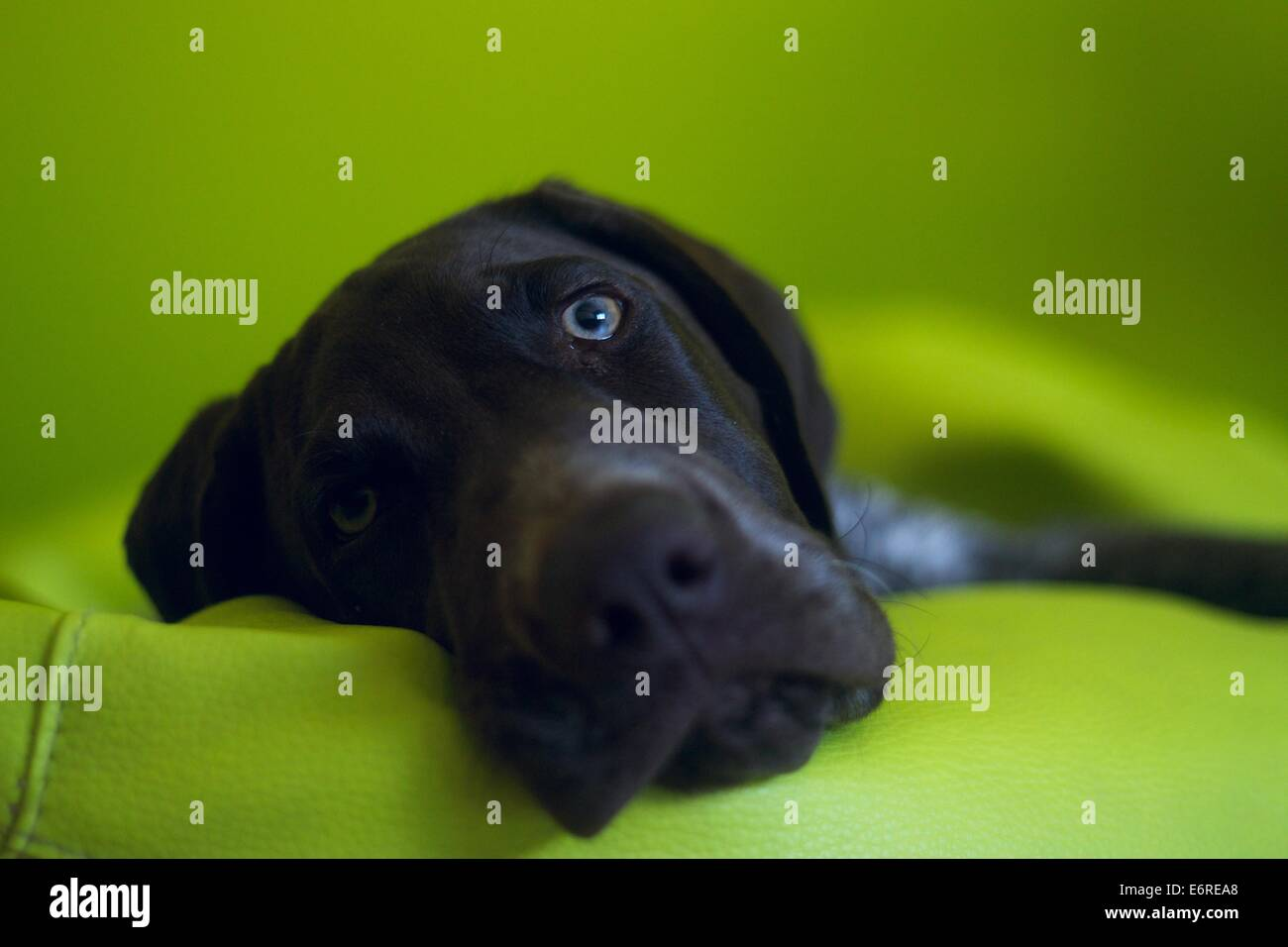 German Shorthaired Pointer, 5 months old, laying down on a green bean bag and looking directly into the camera - Stock Image
