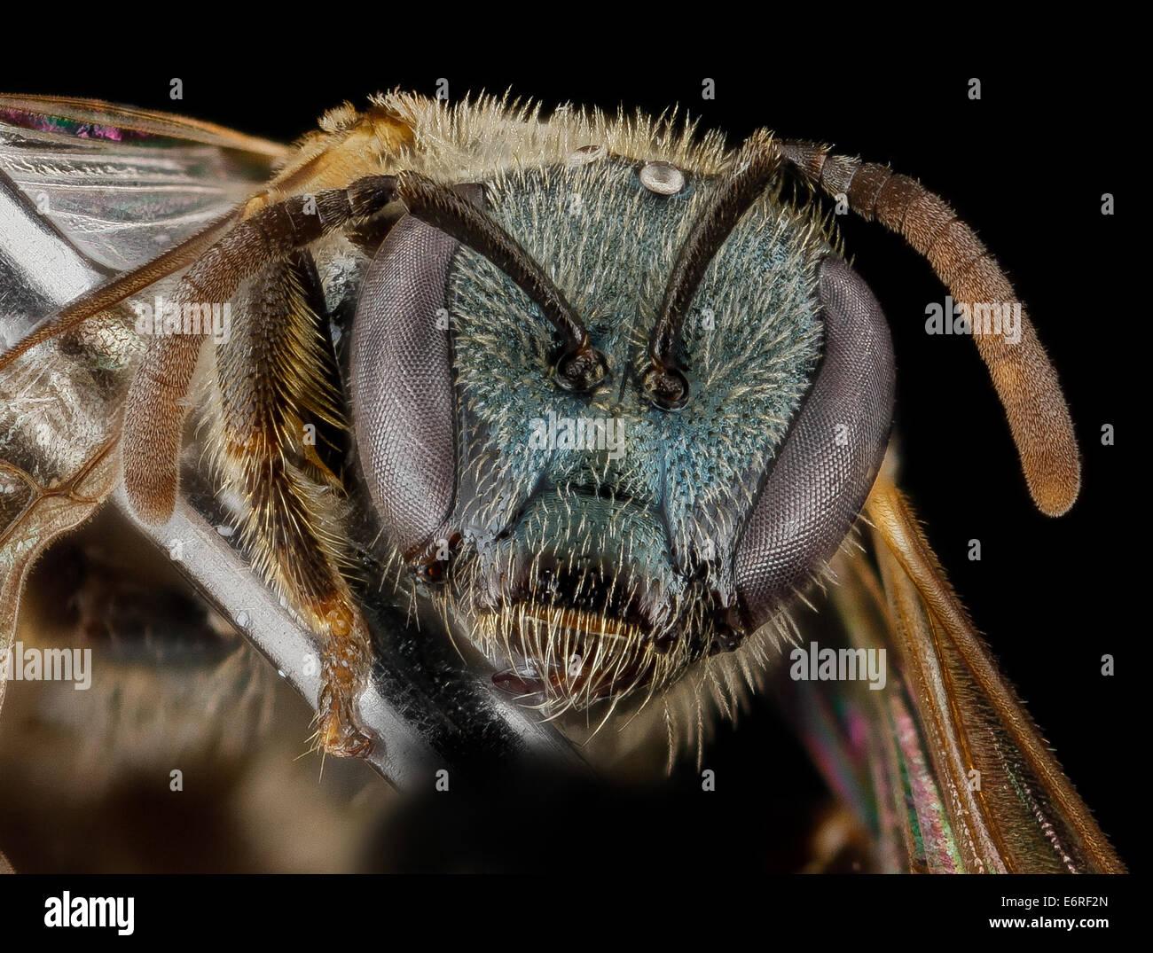 Lasioglossum floridanum, F, face, Georgia, Camden County_2013-02-22-183143 ZS PMax_10673021893_o One of the many - Stock Image