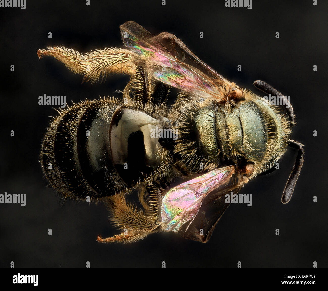 Lasioglossum gotham, F, Back, MD, Cecil County_2013-07-10-164508 ZS PMax_10047723023_o Of the many types of shiny - Stock Image