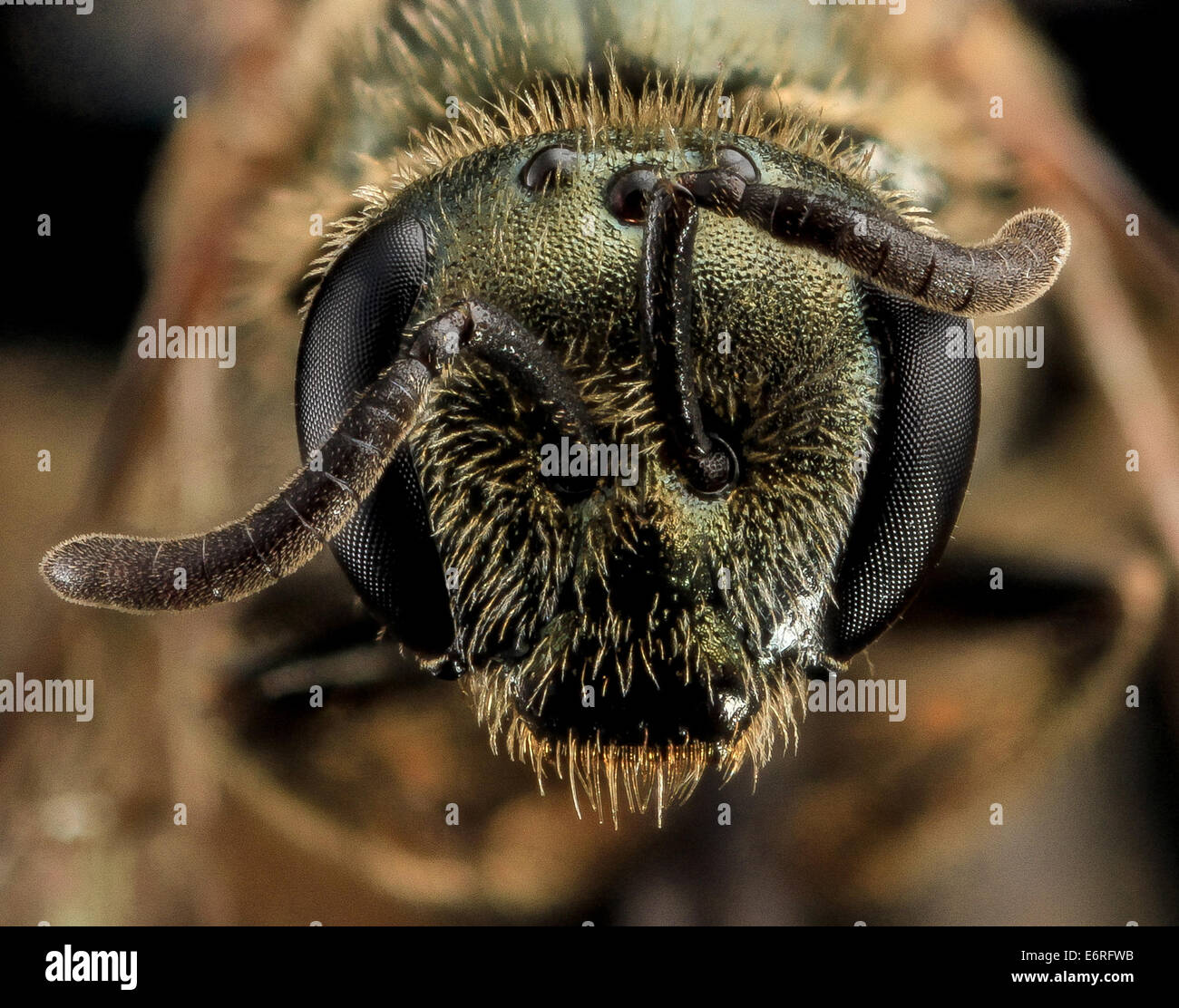 Lasioglossum gotham, F, Face, MD, Cecil County_2013-07-10-165123 ZS PMax_10047603955_o Of the many types of shiny - Stock Image