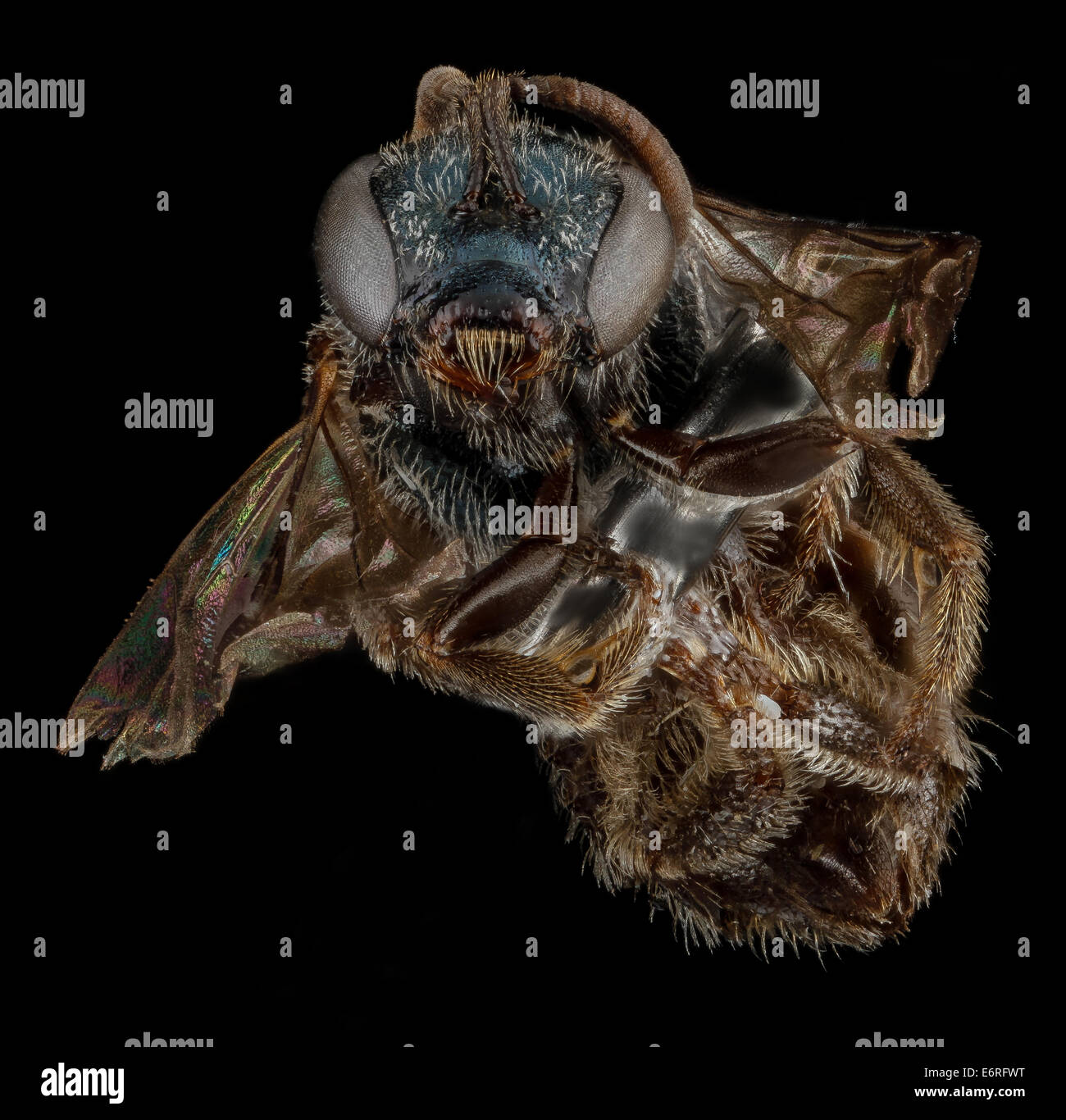 Lasioglossum halophitum, F, face, Florida, St Johns County_2013-02-22-185728 ZS PMax_10683338883_o Captured as part - Stock Image