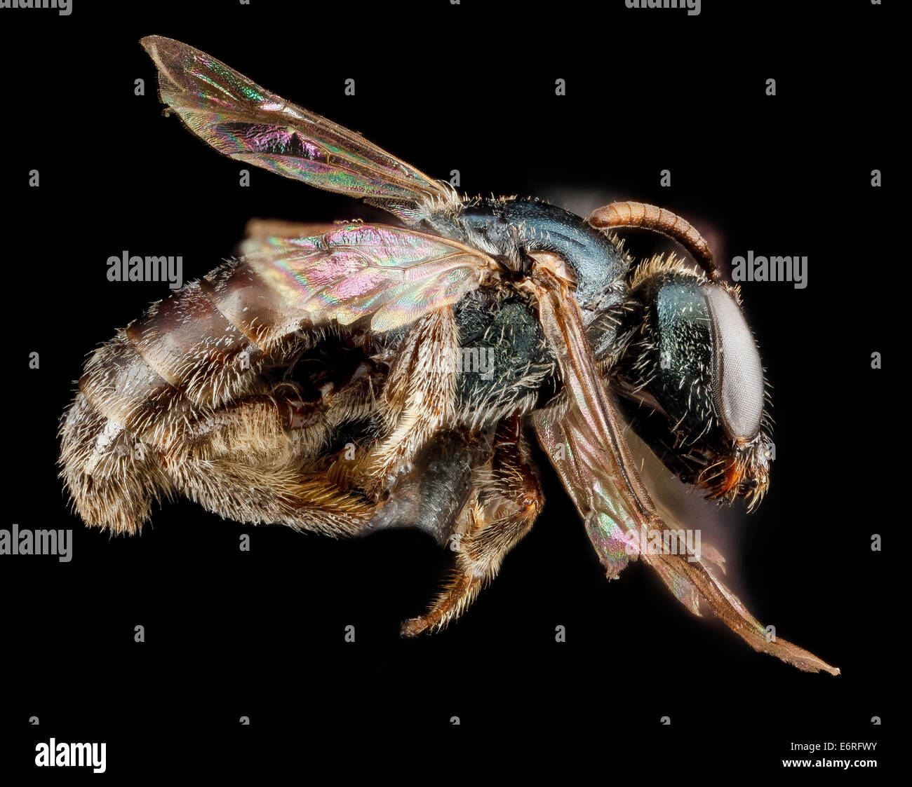 Lasioglossum halophitum, F, side, Florida, St Johns County_2013-02-22-190456 ZS PMax_10683143214_o Captured as part - Stock Image