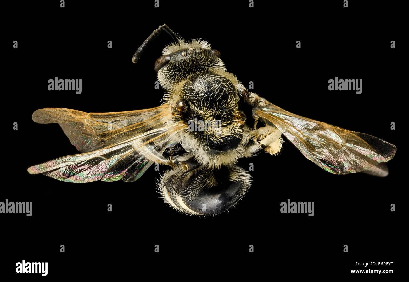 Lasioglossum paraforbesii, F, back, Pennington Co, S Dakota_2014-01-10-153128 ZS PMax_12279415464_o Another bee - Stock Image
