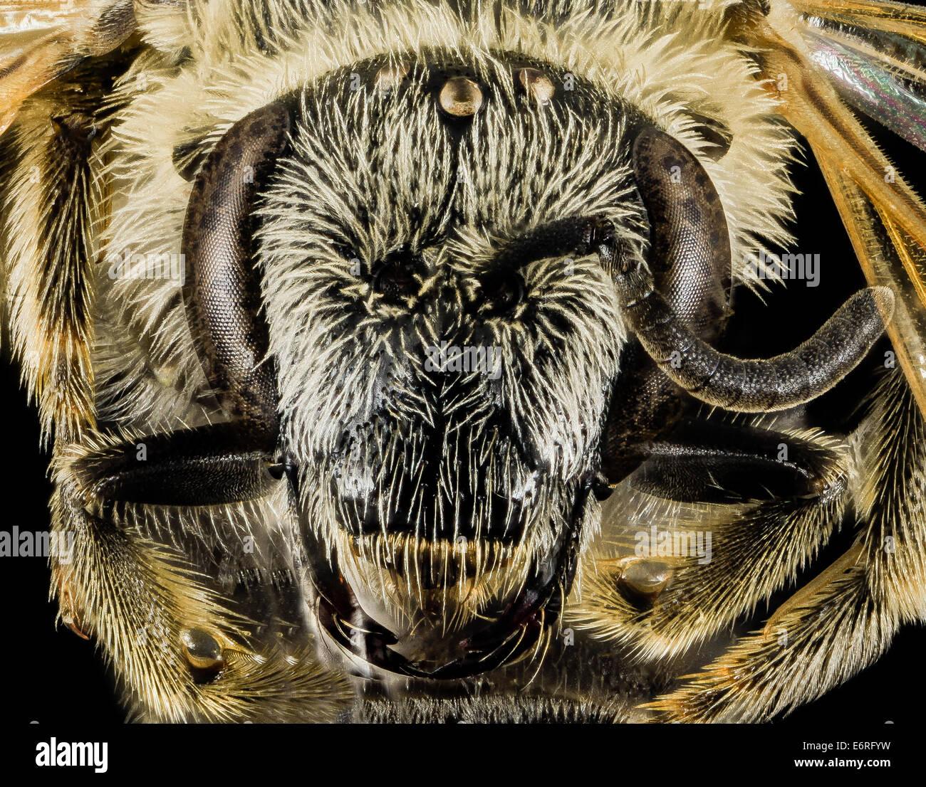 Lasioglossum paraforbesii, F, face, Pennington Co, S Dakota_2014-01-10-154401 ZS PMax_12279007735_o Another bee - Stock Image