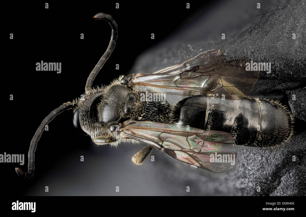 Lasioglossum truncatum, M, Back, MD, Cecil County_2013-07-10-172027 ZS PMax_10055929534_o A male, with great, long - Stock Image