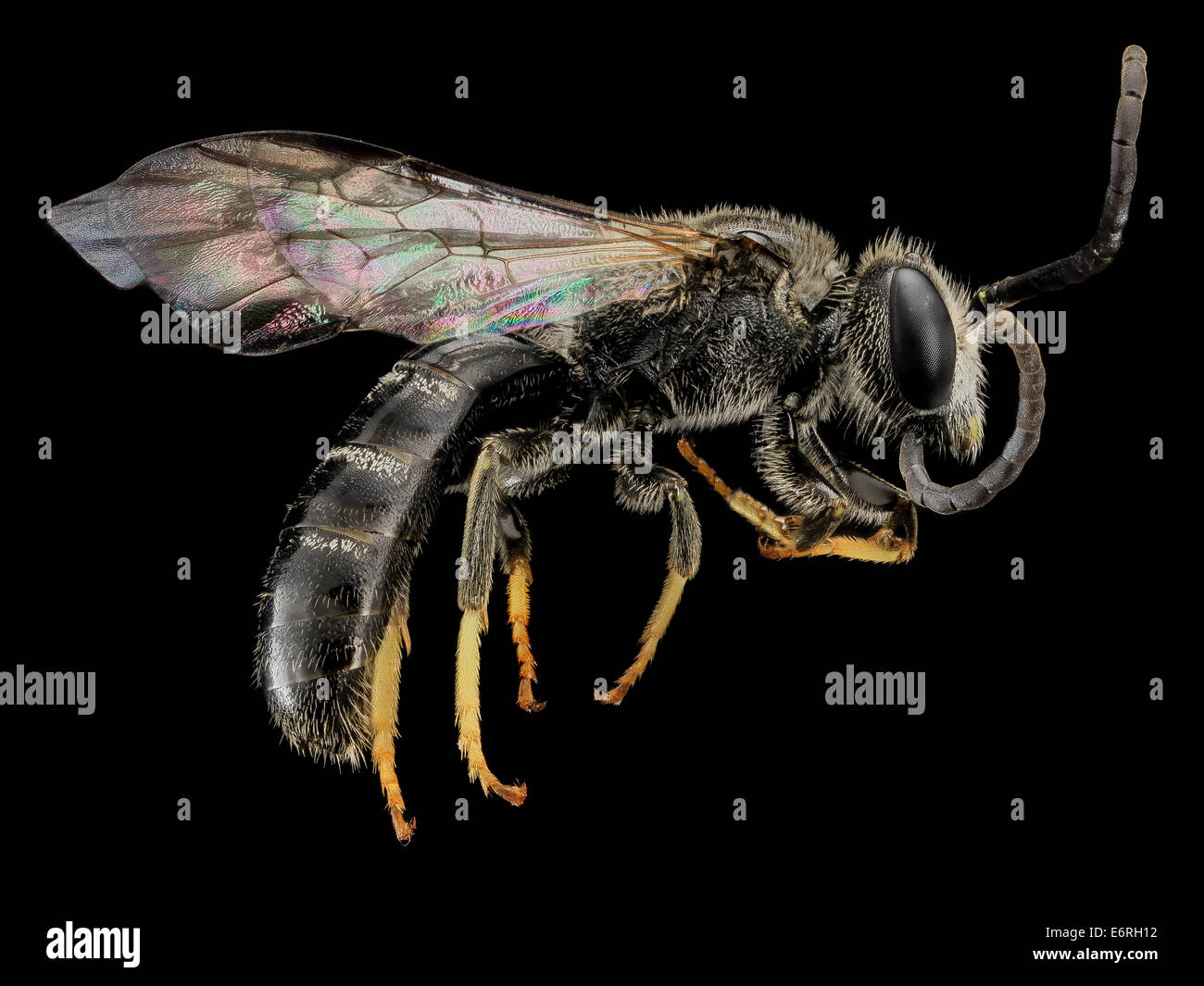 Lasioglossum truncatum, M, Side, MD, Cecil County_2013-07-10-174345 ZS PMax_10055996896_o A male, with great, long - Stock Image