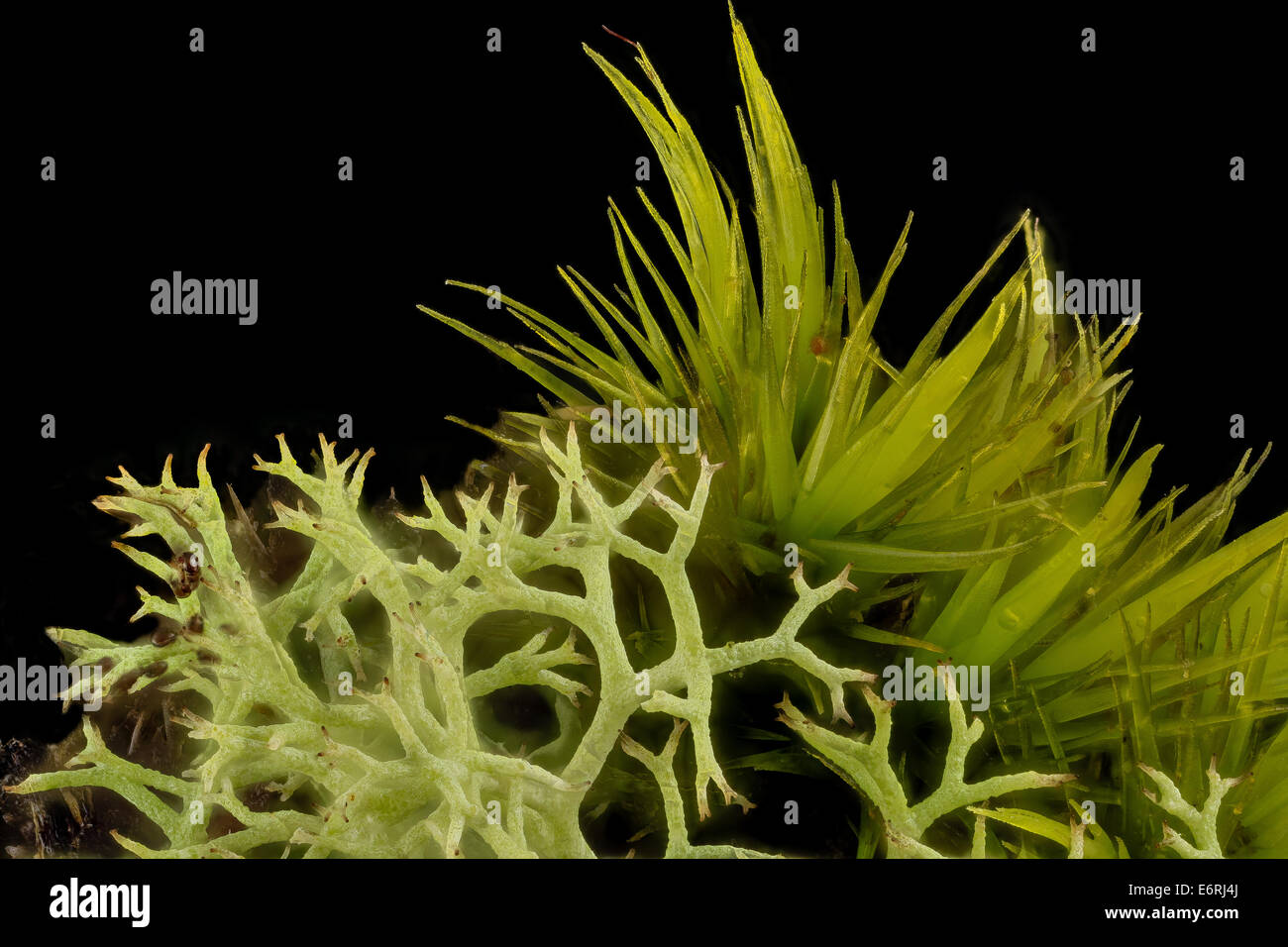 lichen and moss, beltsville, md_2014-04-15-182424 ZS PMax_13896193714_o A micro arrangement of moss and Cladonia - Stock Image