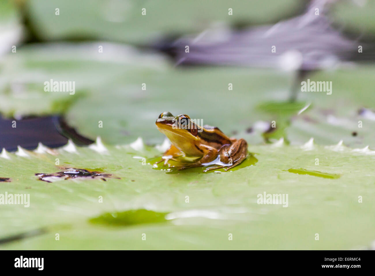 Common green frog (Hylarana erythraea) also known as green paddy frog, red-eared frog or leaf frog on a water lily - Stock Image