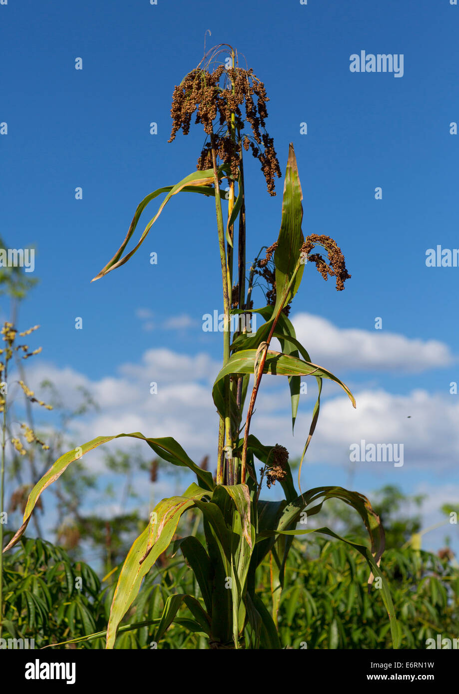Sorghum Crop Ready For Harvest, Konso, Ethiopia - Stock Image