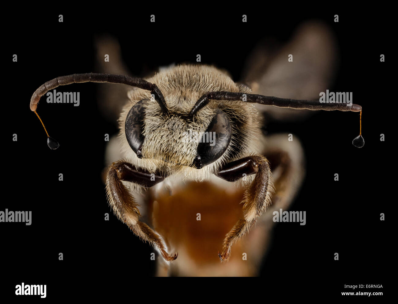 Nomia heart antennae, m, 15266b02, face, kenya_2014-08-04-195216 ZS PMax_14922843736_o From Kenya comes yet another - Stock Image