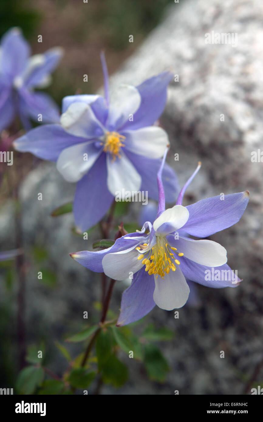 Colorado Blue Columbine Flowers Stock Photos Colorado Blue