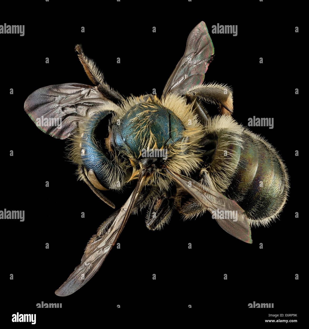 Osmia inspergens, F, Back, MA, Barnstable County_2014-04-13-131921 ZS PMax_13987014049_o A bee I often associate - Stock Image