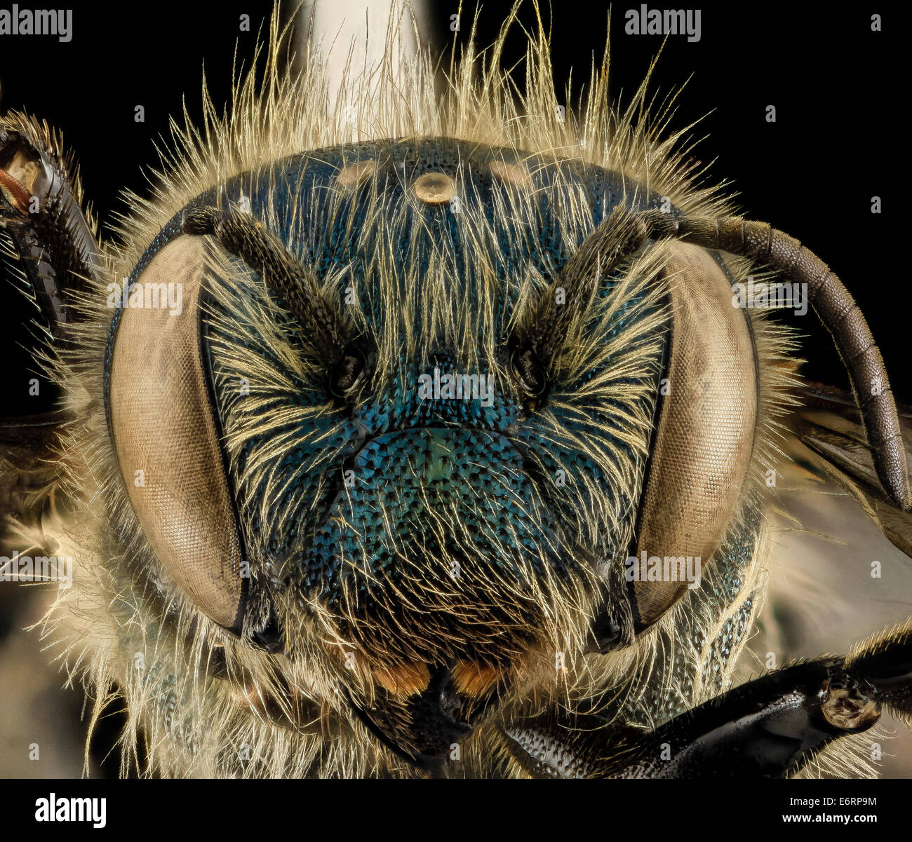 Osmia inspergens, F, Face, MA, Barnstable County_2014-04-11-171332 ZS PMax_13987025230_o A bee I often associate - Stock Image