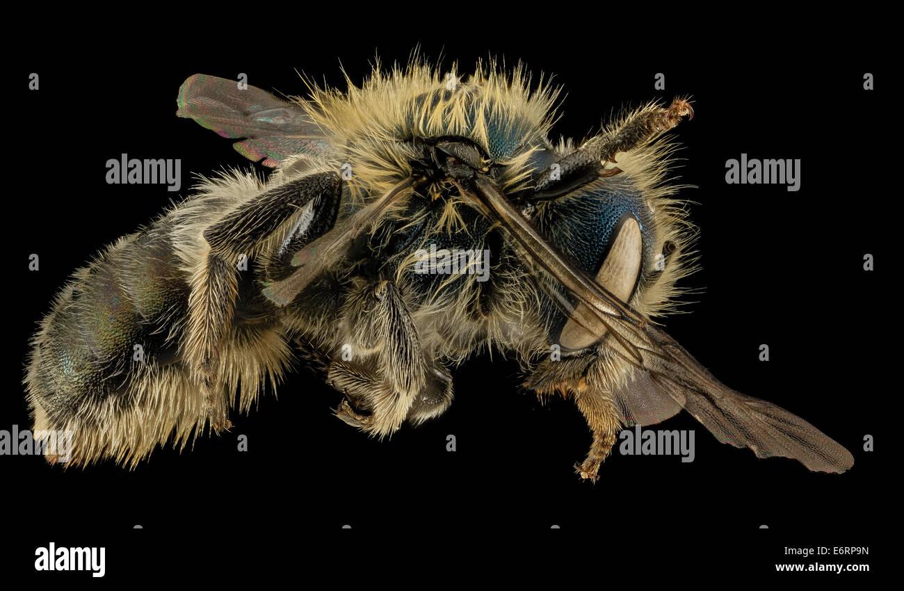 Osmia inspergens, F,, Side, MA, Barnstable County_2014-04-11-173643 ZS PMax_14170996232_o A bee I often associate - Stock Image