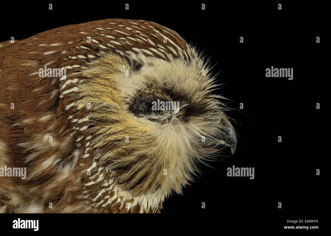 saw whet, face, dc_2014-05-05-162422 ZS PMax_13931962518_o Aegolius acadicus, the Norther Saw-whet owl.  Look at - Stock Image