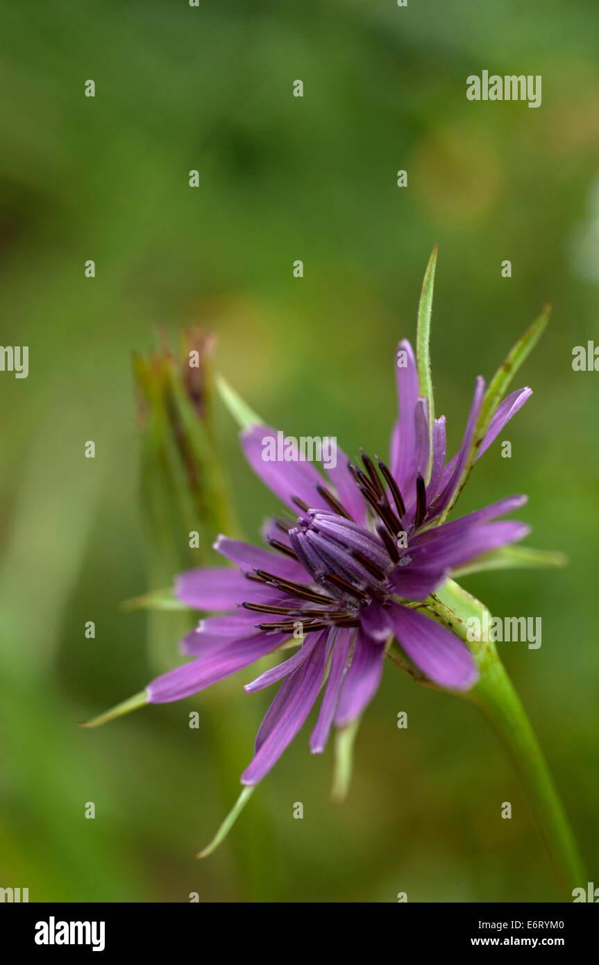 Roter Bocksbart (Tragopogon porrifolius) Stock Photo