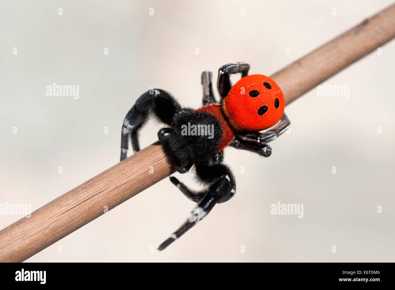 Moravian velvet spider (Eresus moravicus) - Stock Image