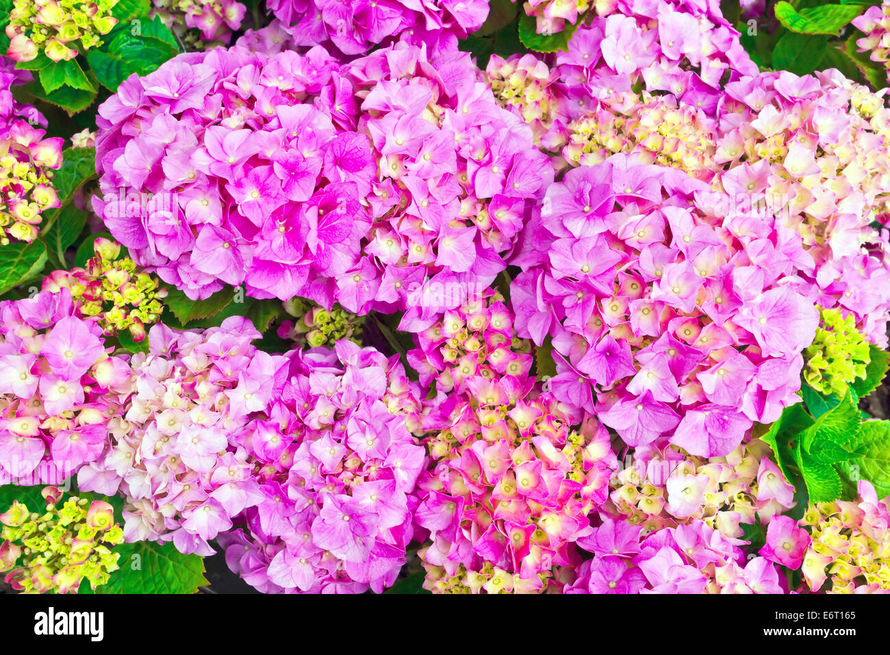 Pink hydrangea flower heads close-up. - Stock Image
