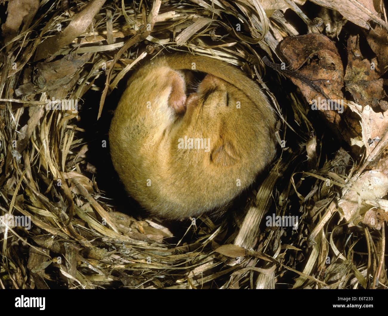 Hazel Dormouse - Muscardinus avellanarius - Stock Image