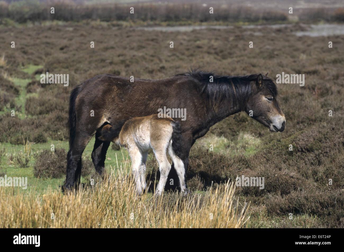 Exmoor Pony - Equus ferus caballus - Stock Image
