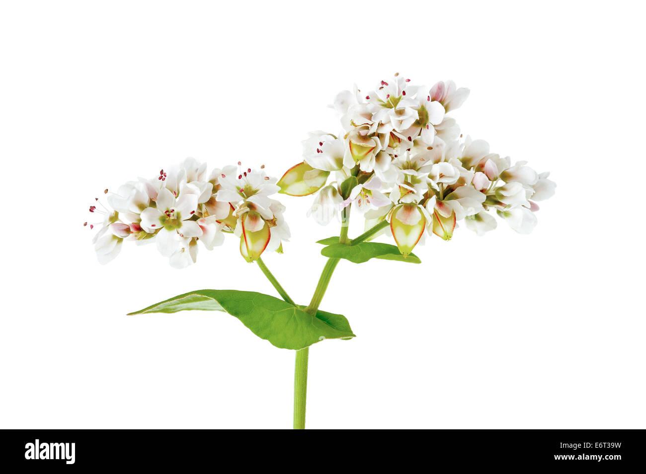 Buckwheat flowers isolated on white background - Stock Image