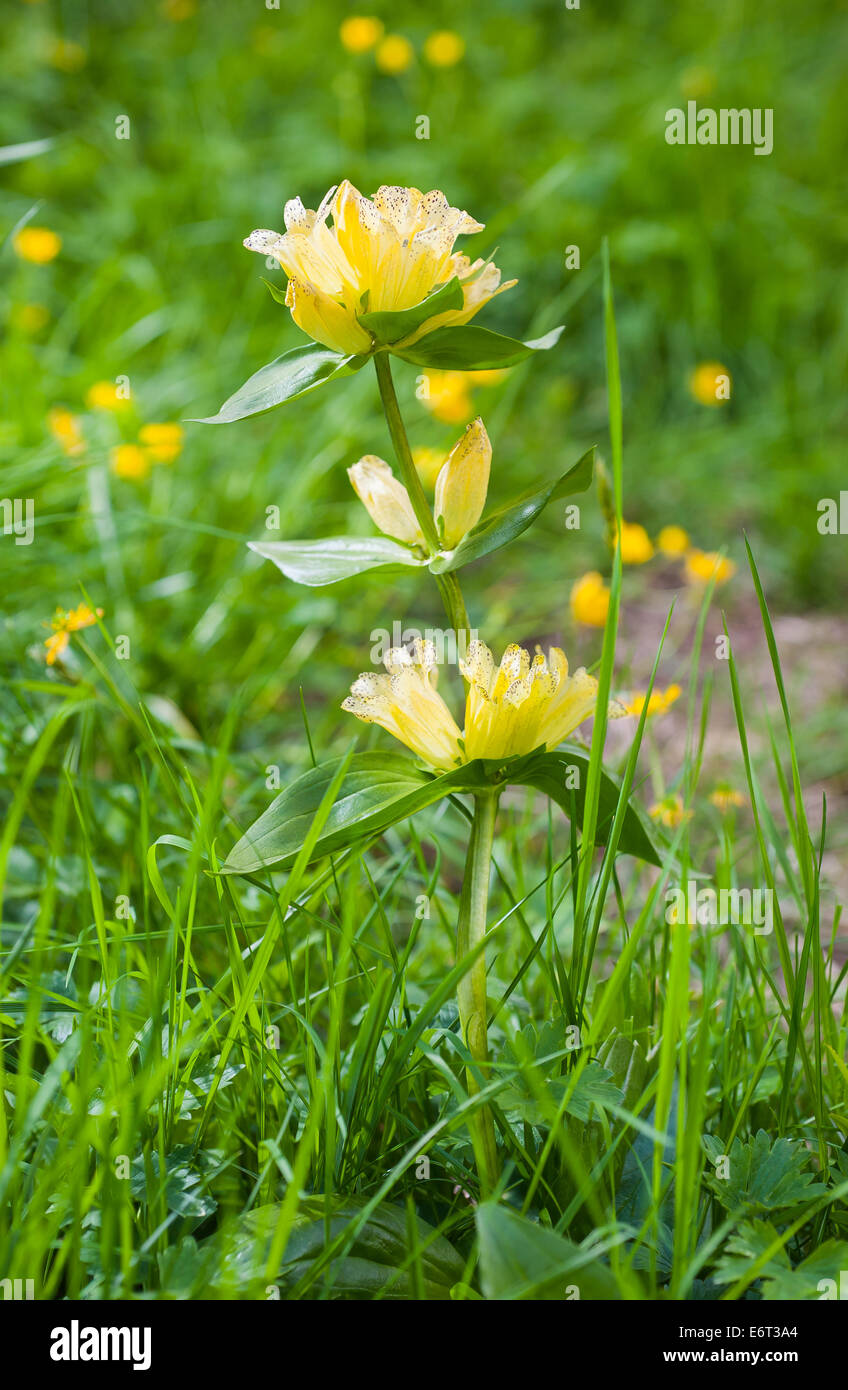 Yellow gentian on a green meadow - Stock Image