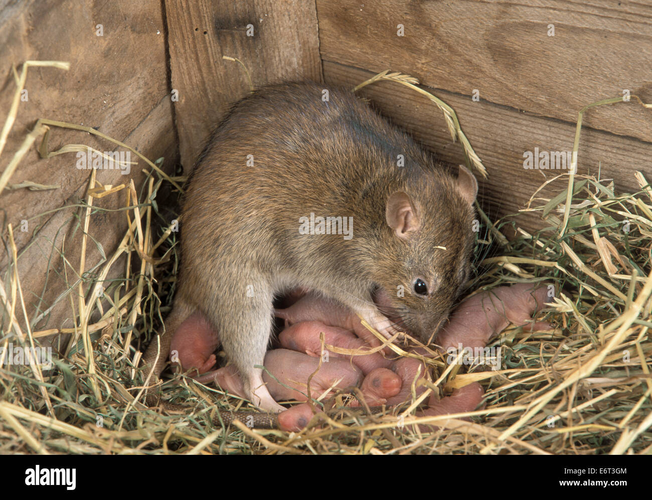 Brown Rat - Rattus norvegicus - Stock Image