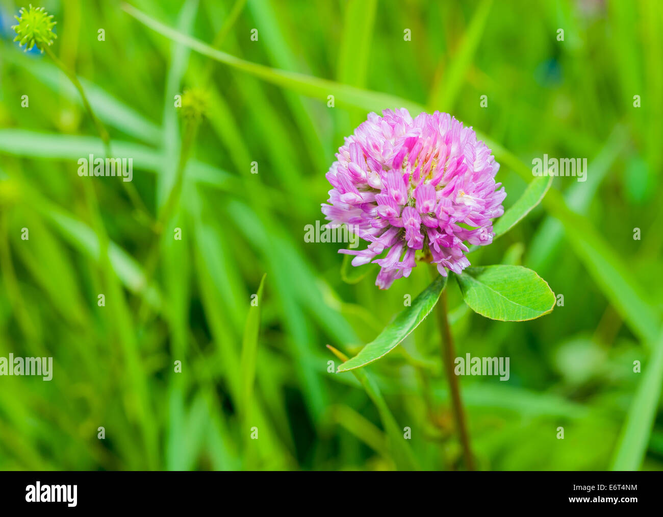 clover plants with flowers on blurred bacdkground Stock Photo