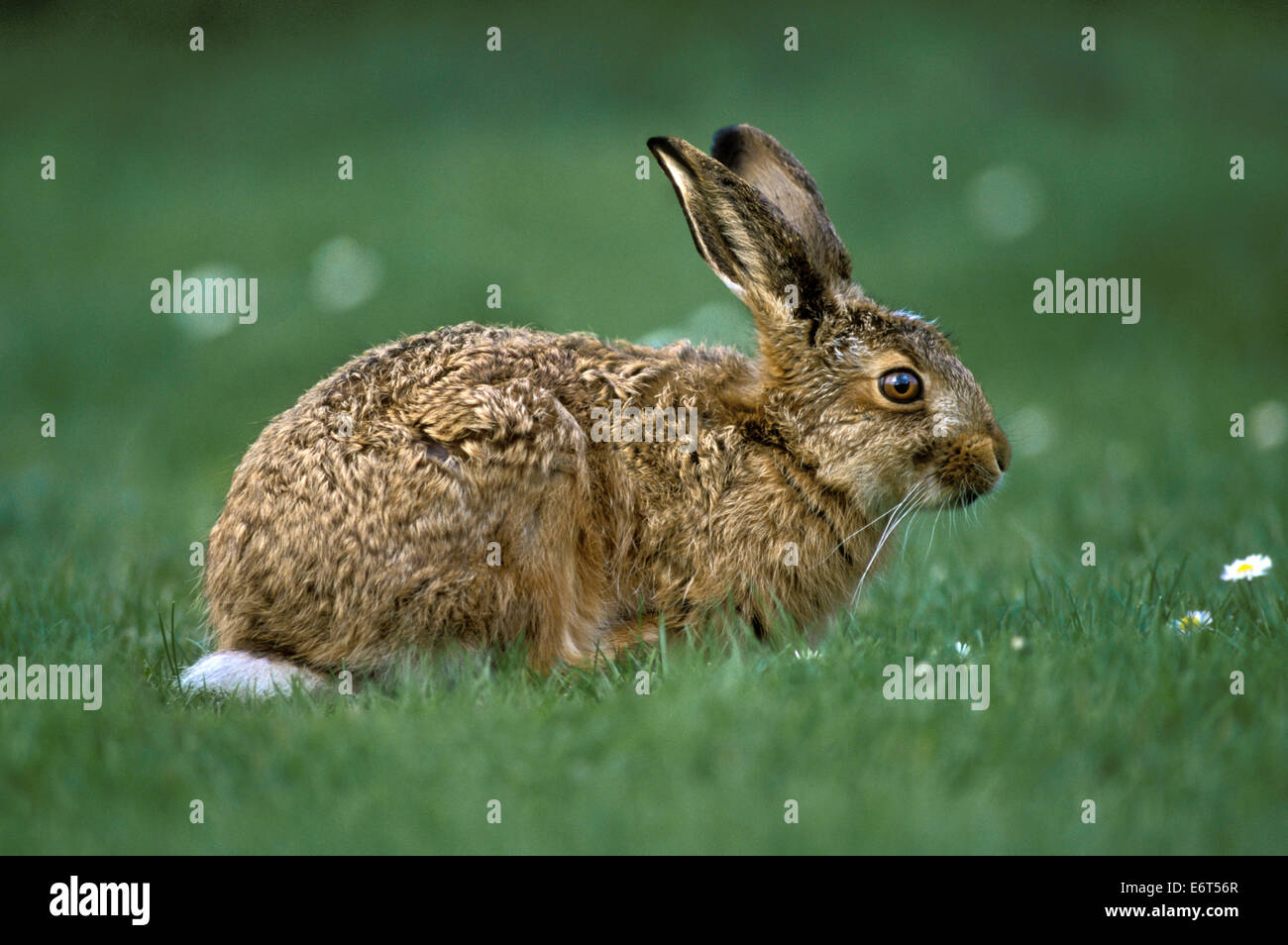 Brown Hare - Lepus europaeus - Stock Image
