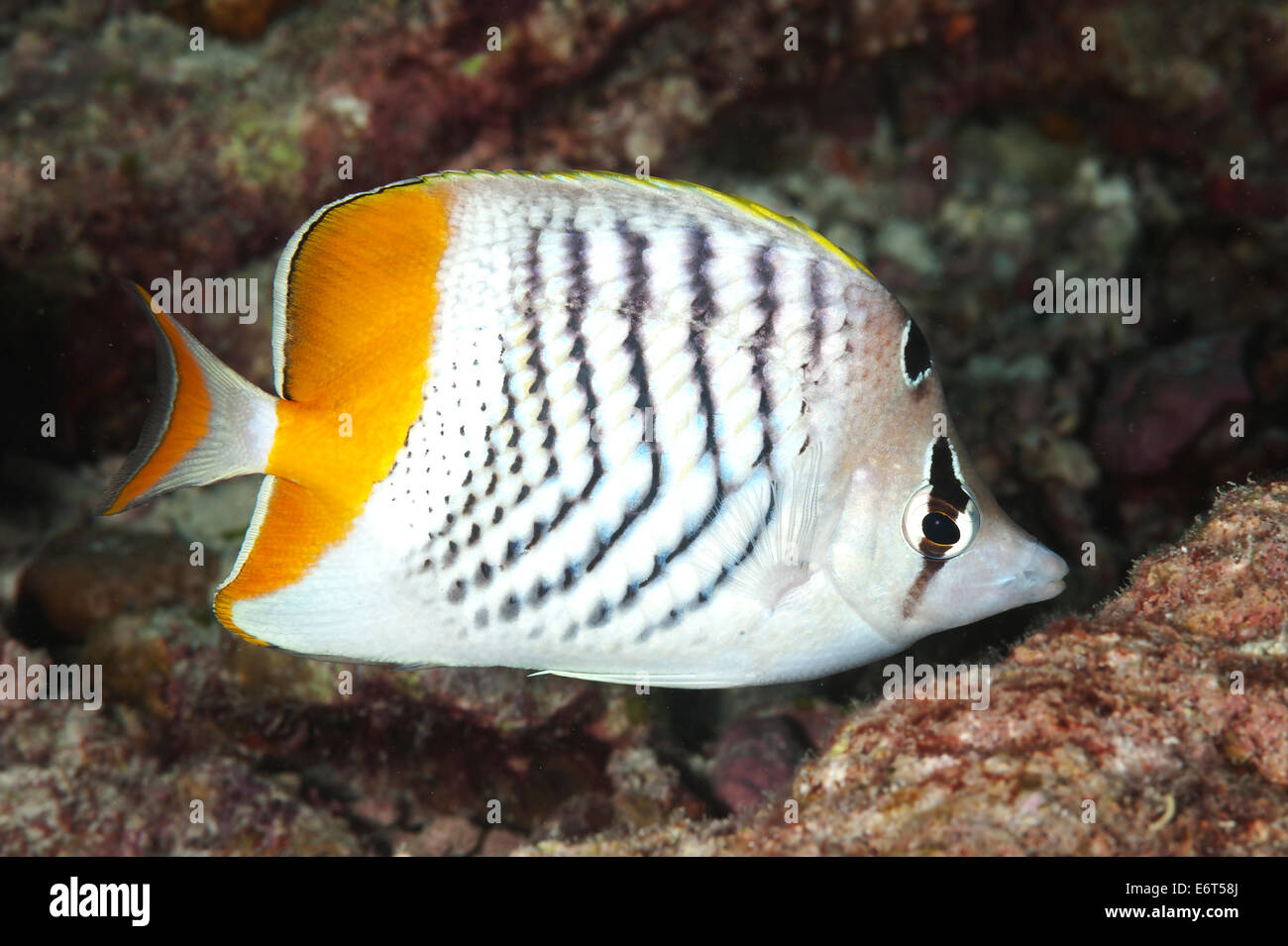 Yellowback butterflyfish in Maldives, Indian Ocean Stock Photo