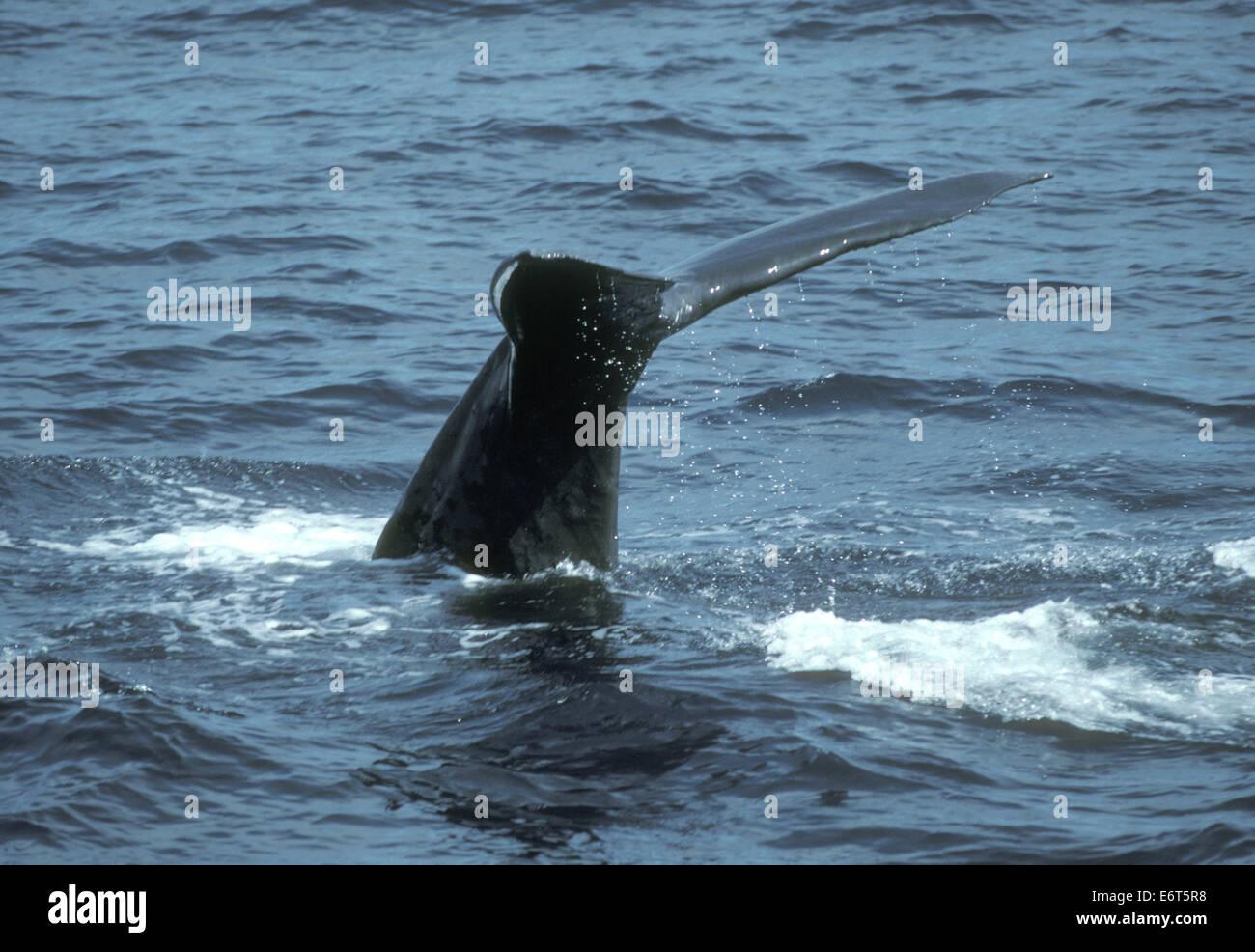 Sperm Whale - Physeter macrocephalus - Stock Image