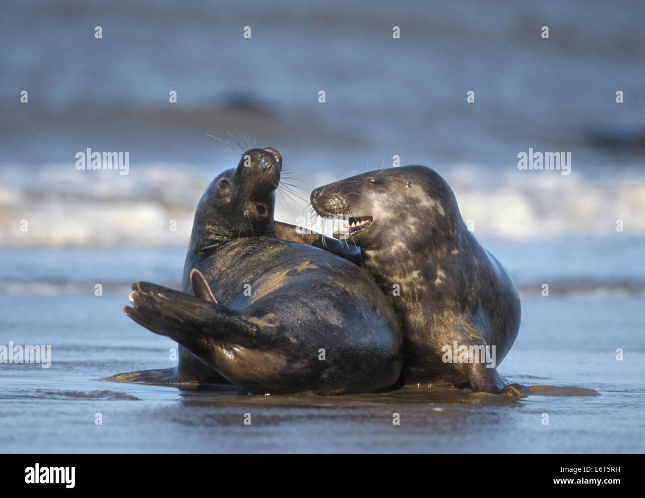 Grey Seal - Halichoerus grypus Stock Photo
