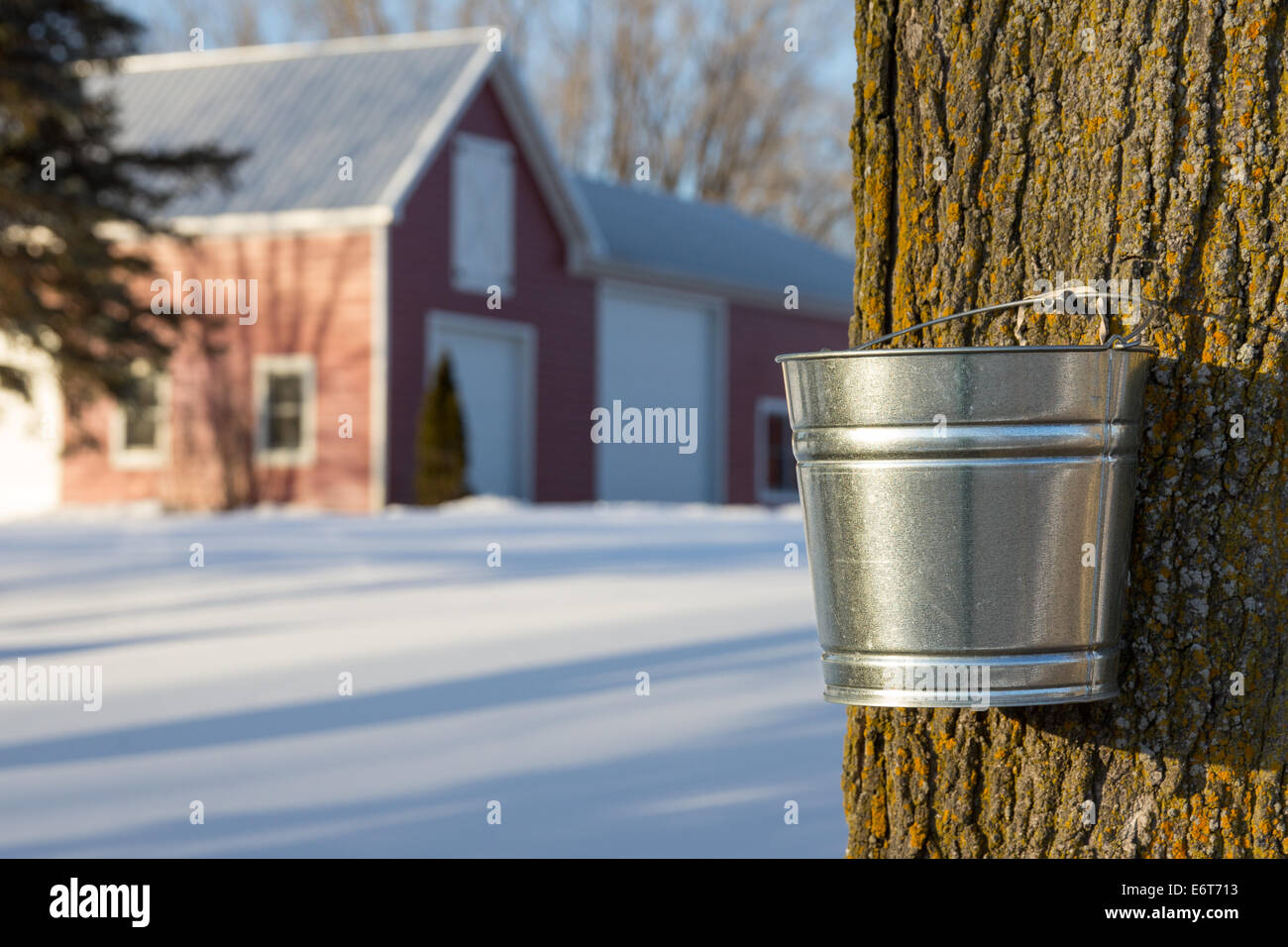 Tapping maple trees for their sap in the Spring. - Stock Image
