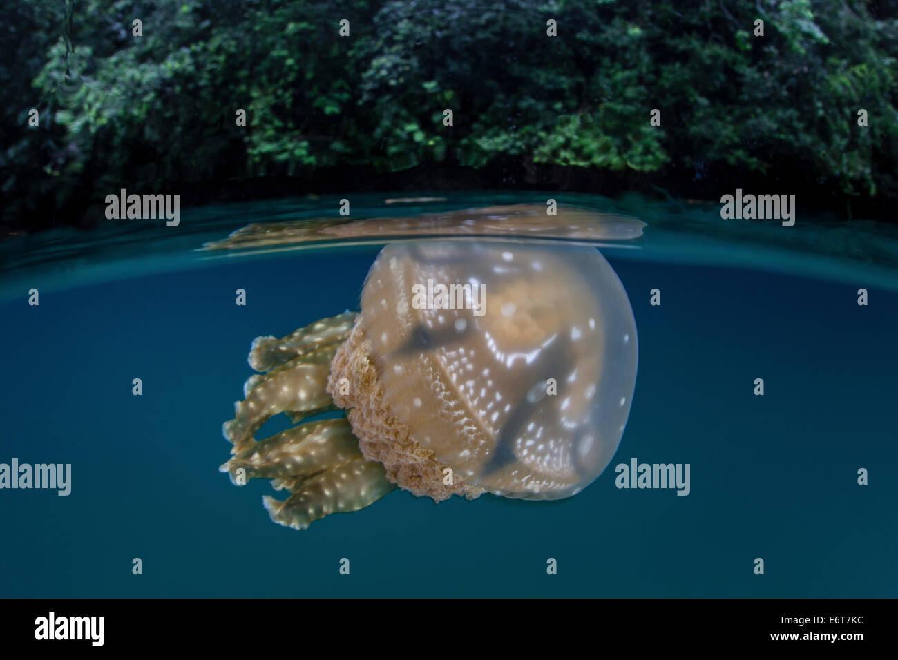 Mastigias Jellyfish in Jellyfish Lake, Mastigias papua etpisonii, Micronesia, Palau Stock Photo
