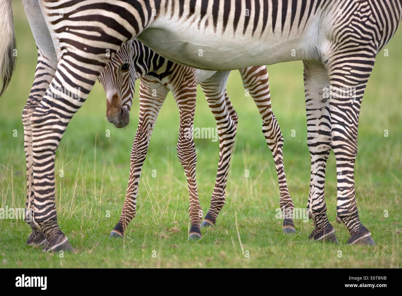 Grevy's Zebra - Equus grevyi Stock Photo