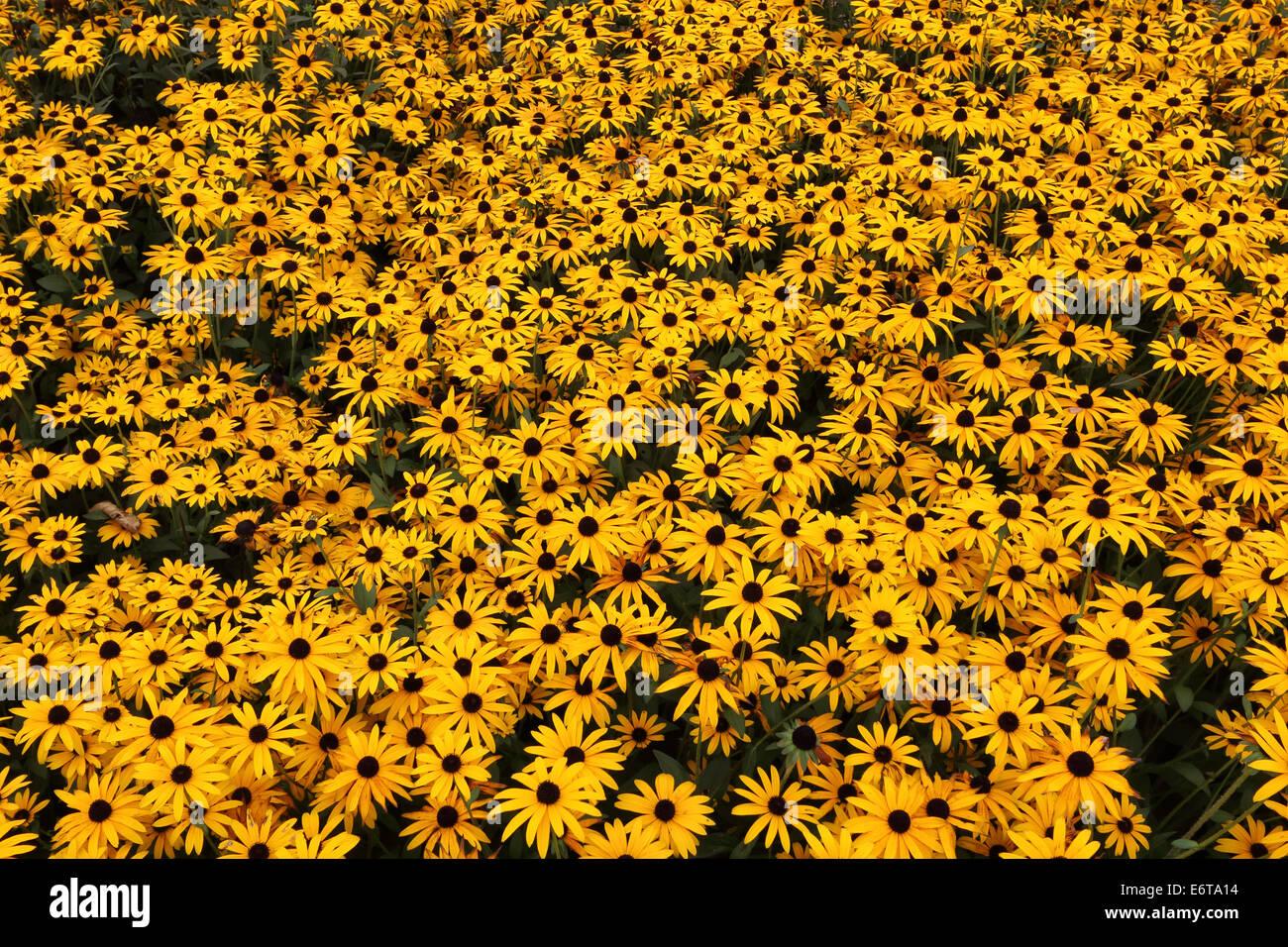 Rudbeckia Asteraceae yellow black flowers bloom - Stock Image