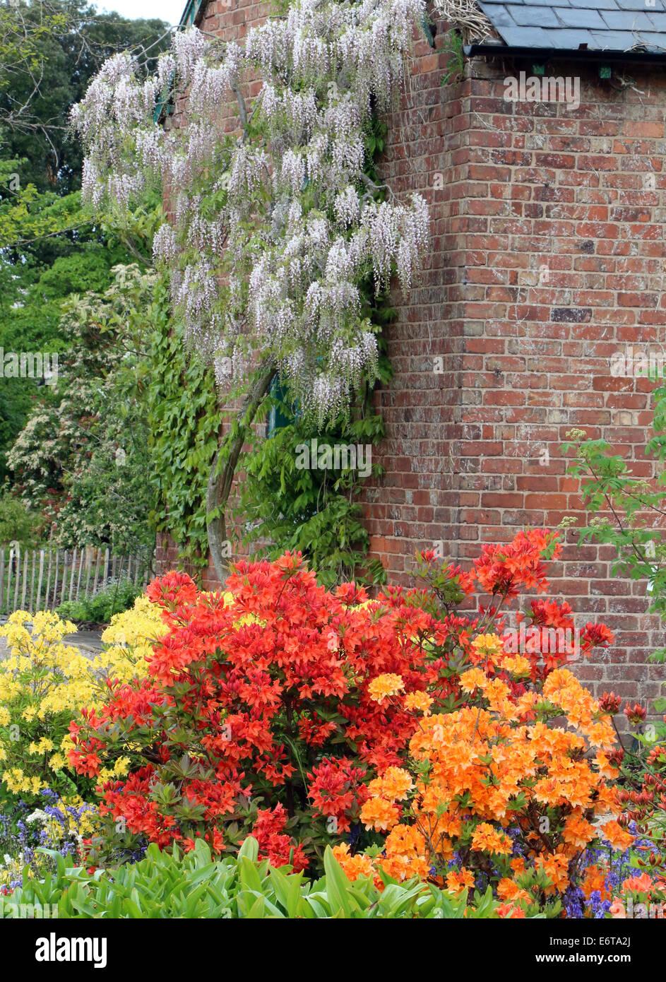 Azaleas Wisteria flowers blooms summer spring - Stock Image