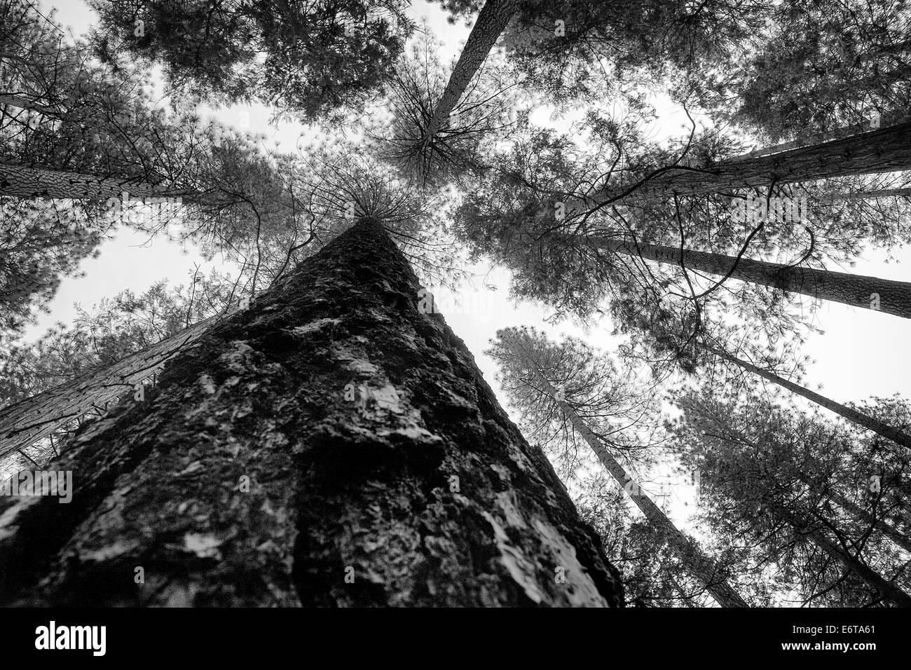 Pines of Yosemite National Park, Pinus sp., California, USA - Stock Image