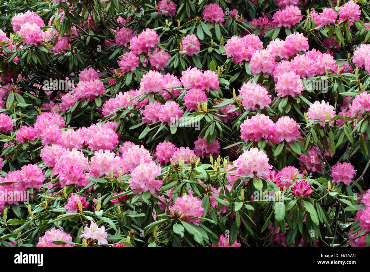 Rhododendron pink blooms flowers - Stock Image