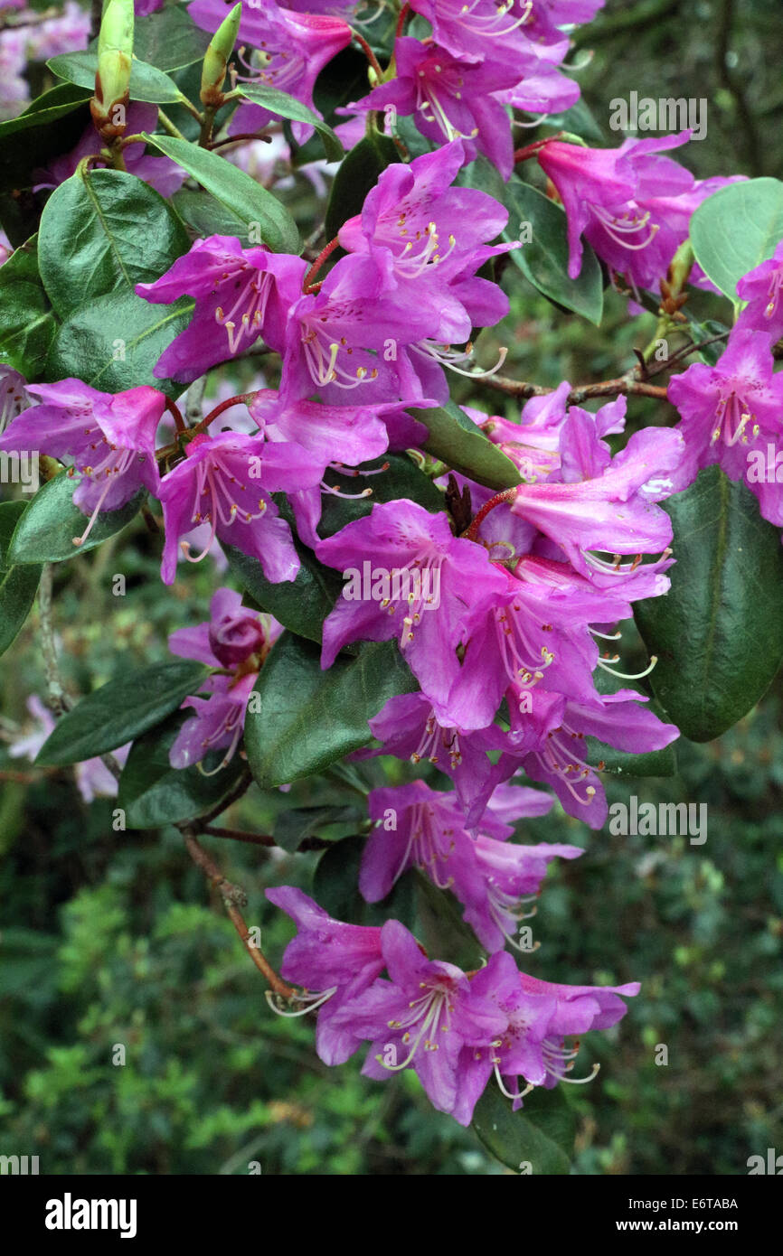 Rhododendron Concinnum - Stock Image