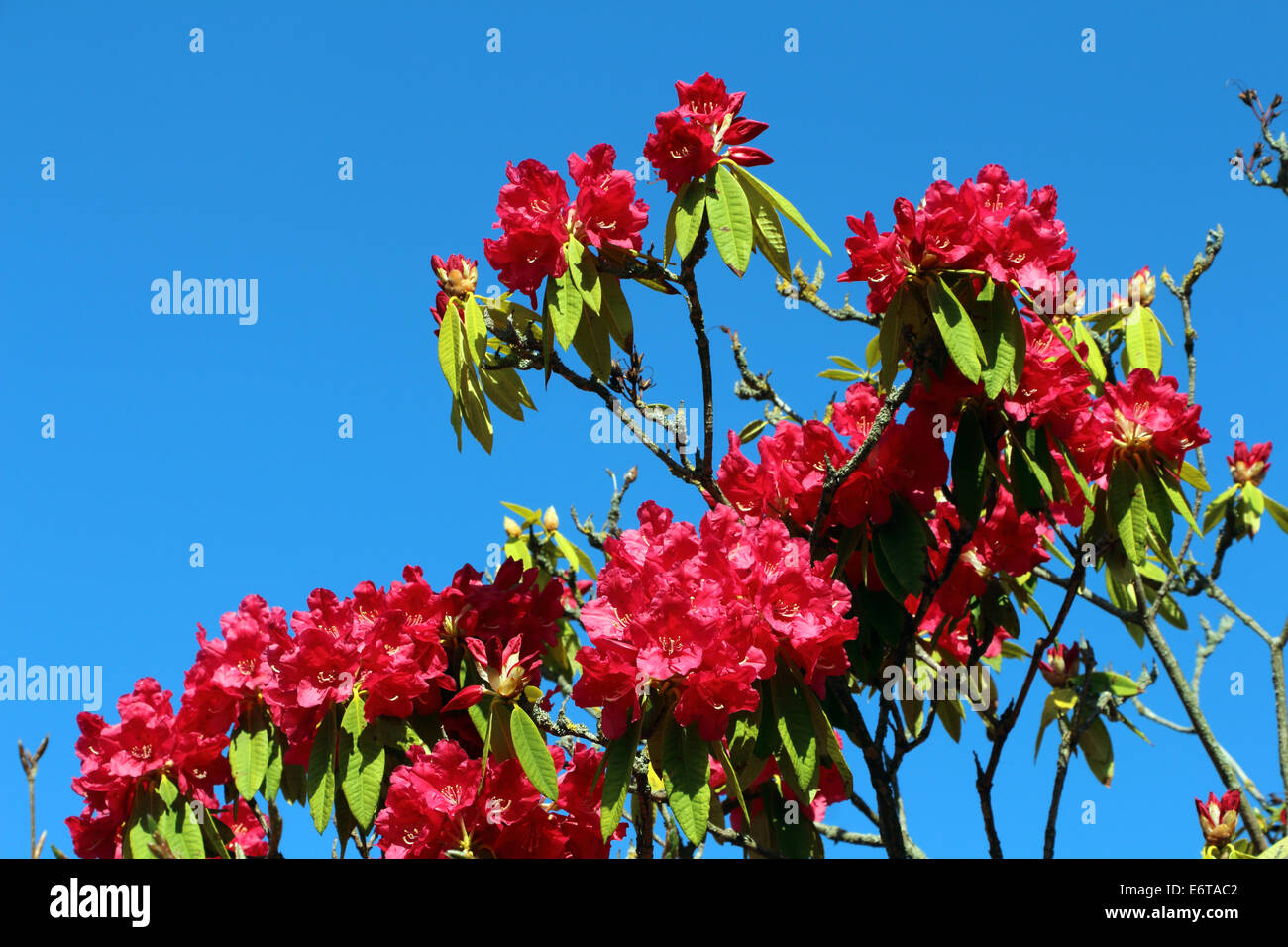 Rhododendron red blue sky - Stock Image